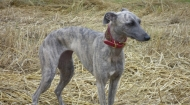 whippets-2011-0481-640x480