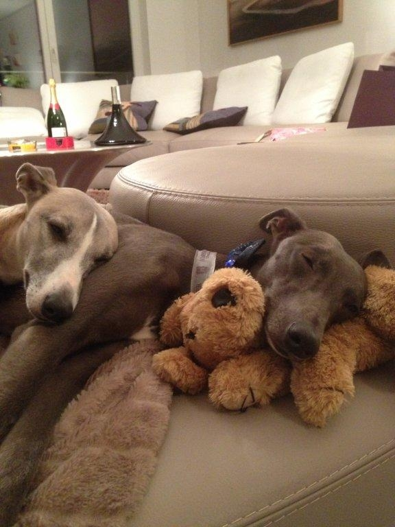 Rencontre whippet