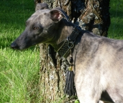 whippet-collier-056